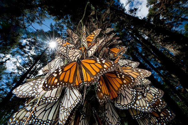 Monarch butterflies clustering together on a tree